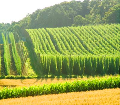 This field of hops may become herbs for sleep.