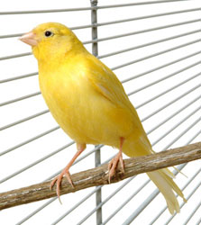 Sleep apnea symptoms are alarming, like in the way when miners used canaries underground. When the canary stopped singing, miners knew the air supply was in danger and they had to get out of the mine.