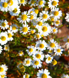 Chamomile is one of the best herbal sleep remedies