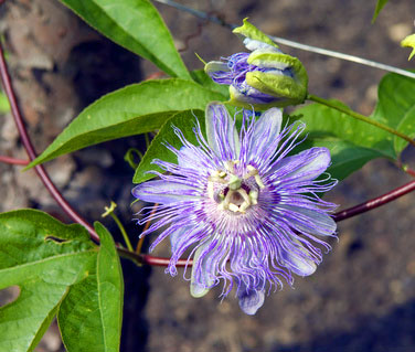 Passiflora incarnata—or Passionflower—is one of the sleep aid herbs that have been used for centuries.