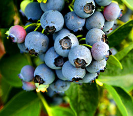Blueberries are a superfood, as they provide the highest antioxidant content of any fruit.